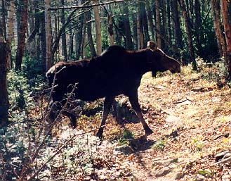 A Cow Moose Crosses Our Path In The 100 Mile Wilderness