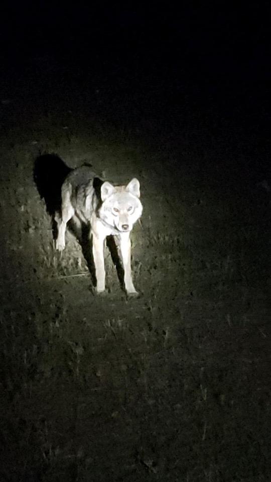 Beaverstone Bay Timberwolf