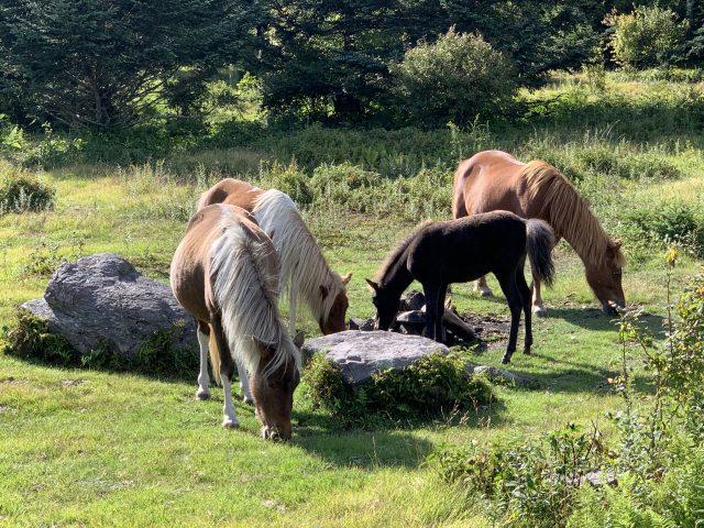 Wild Ponies In Jefferson National Forest